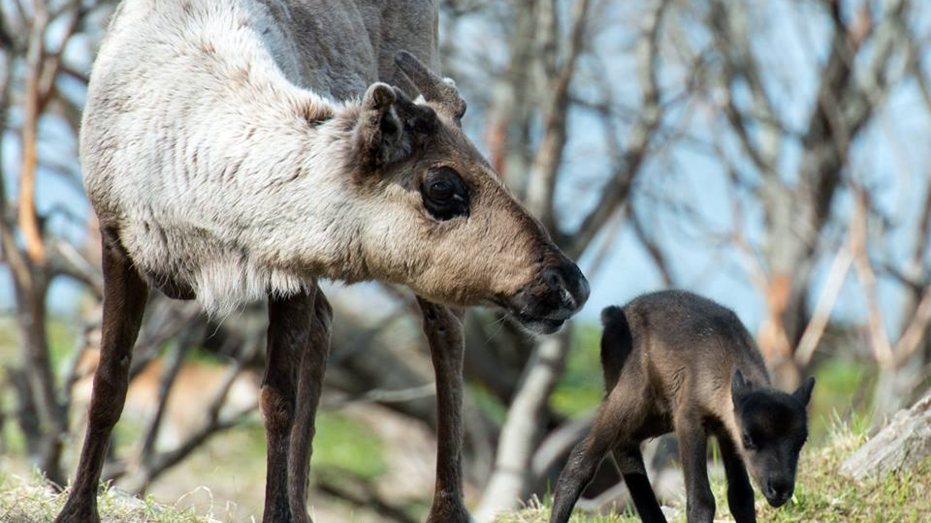 a reindeer mother and child