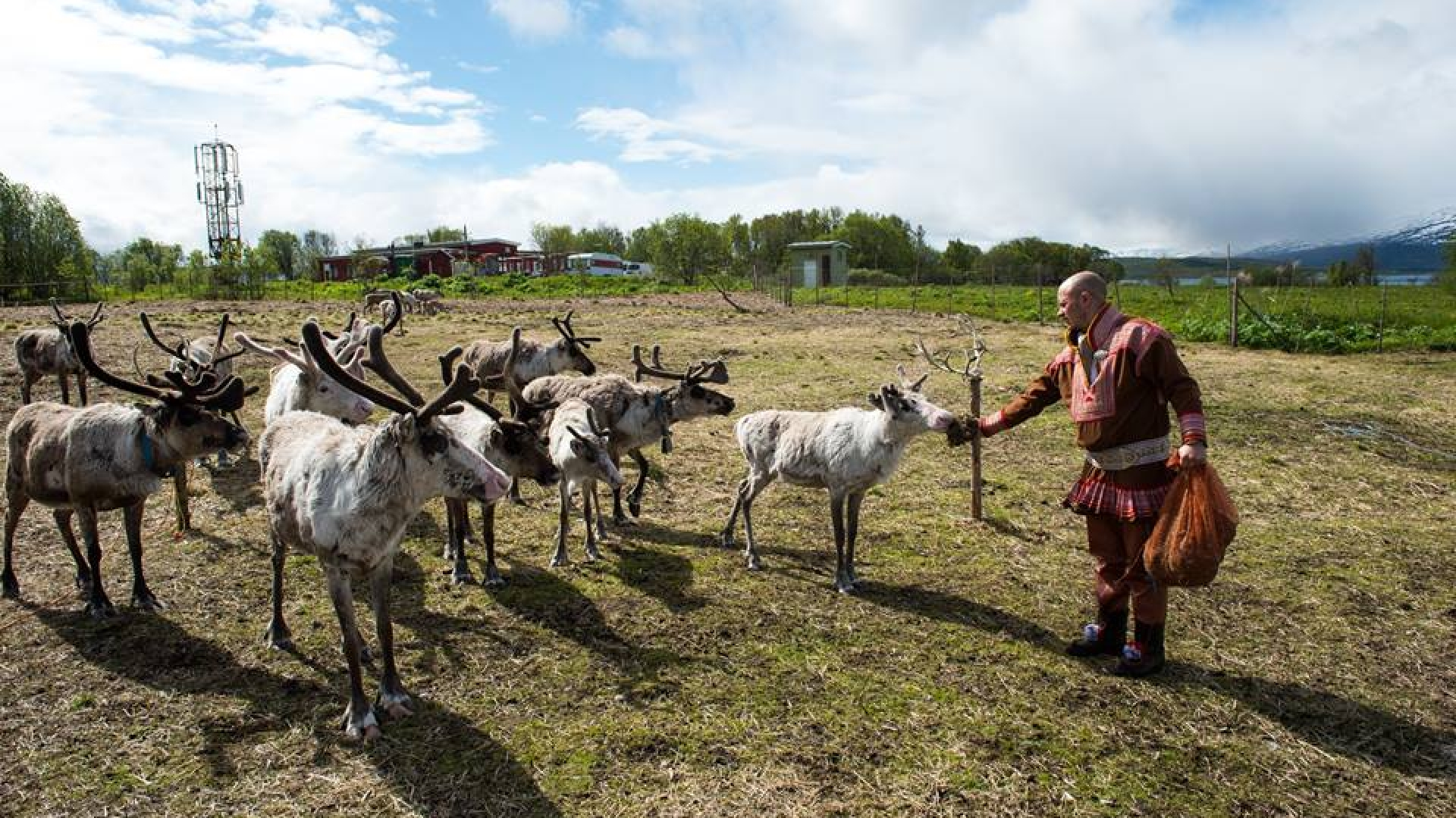 a sami man giving food to his reindeeer