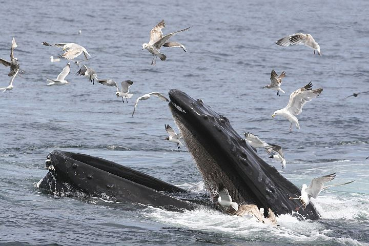 Humpback whale and seagulls