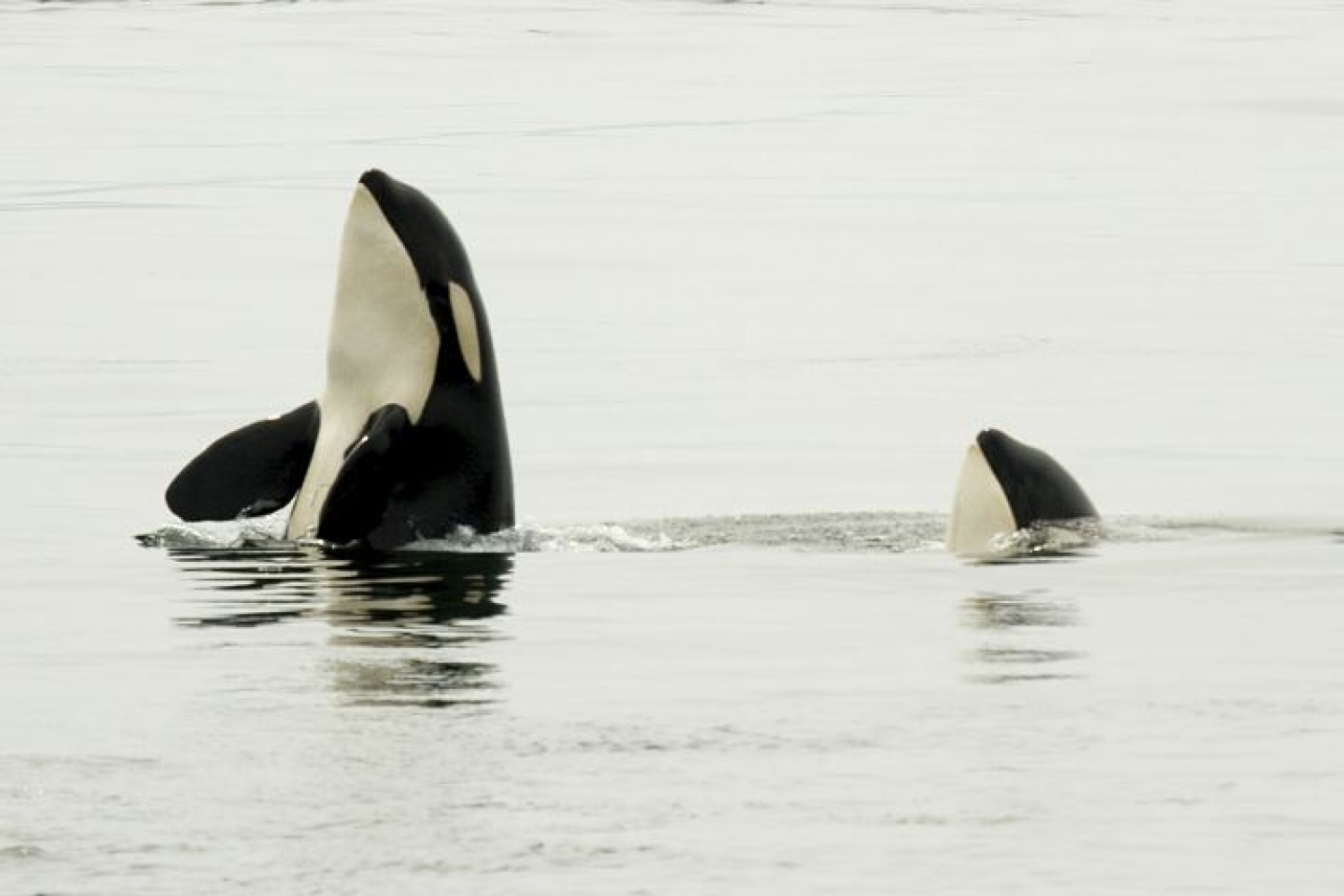 Orcas sticking their heads up from the water