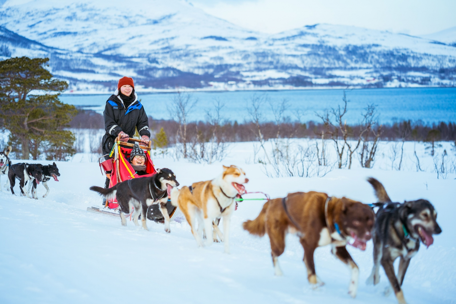 Dog sledding with sea and mountains in the background