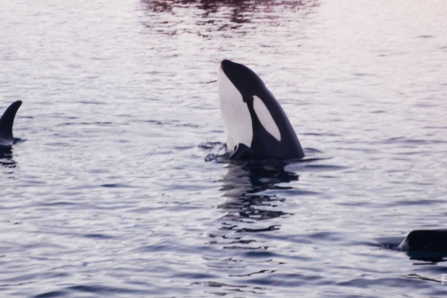 An orca sticking it's head up from the water