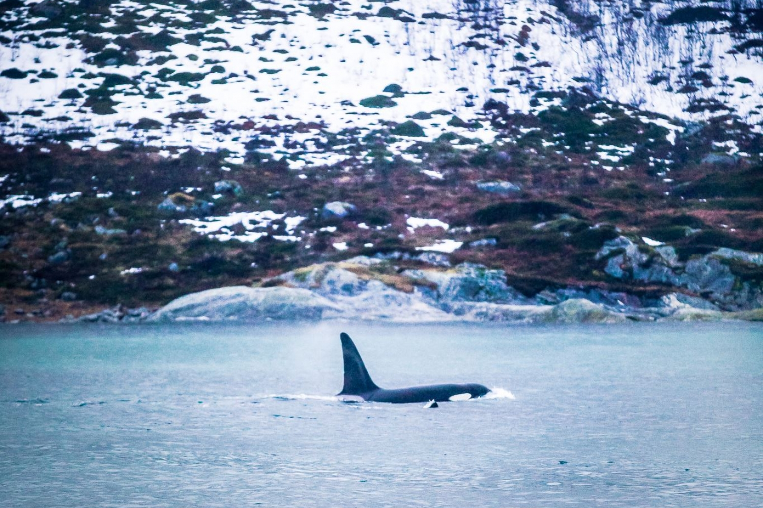 An orca with Arctic landscape in the background
