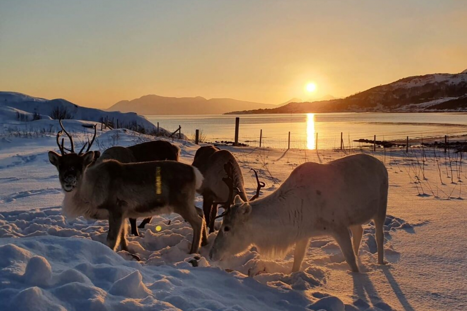 Reindeer in the snow, sun in the background