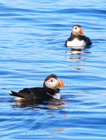 Two puffins swimming on the sea