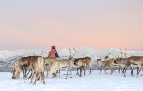 a man herding a herd of reindeer